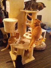猫カフェ マンチカン 鶴橋店の写真