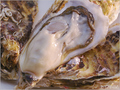 料理メニュー写真世界一美味い牡蠣プロジェクト!セカウマ牡蠣!長崎五島ふわふわカキ