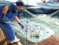 ≪夏の旬!関いさき≫漁で獲れた関いさきを生簀へ