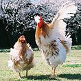 ~阿波尾鶏~徳島県西部や南部の、自然に恵まれ、ゆったりとした環境の中で、丹念に飼育された高級肉用鶏です。旨味成分に優れ、水っぽくなく、肉の味に「コク」があ り、肉質に弾力があります。徳島の自然が育んだ「徳島の地鶏」、自信をもってお勧めしています。~阿波尾鶏 つくね黄身とろ焼きでお召し上がり頂けます