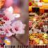 Asian organic bistro 桜のロゴ