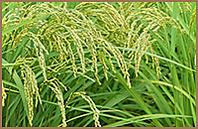 長野産コシヒカリ使用