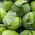 キャベツ もつ鍋の欠かせないキャベツには、ビタミンCが多く含まれています。緑色の濃い部分が一番ビタミンCを含んでいて、その次が芯の周囲に多く含まれます。ま た、血液を凝固させたり、骨を強くしてくれるビタミンKも含みます。じっくり煮込むことによって甘味をを引き出します。もつ鍋の元気の源です!