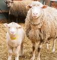 元気なかわいい羊たち!大切な命を是非繋いでください。
