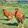 【おおいた冠地鶏】大分が誇る新ブランド地鶏。うま味成分が非常に高く、硬すぎずジューシーなのが特徴。日本初★烏骨鶏を掛け合わせた自信ありの地鶏です★