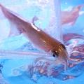 料理メニュー写真[売切れ御免!!]イチオシ!!泳ぎ烏賊