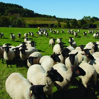幻の北海道サフォーク(ジンギスカン)を自社牧場で育てる