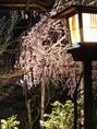 【春】桜のライトアップ ※時期は、お店までお問い合わせ下さい。