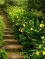【春】遊歩道 山吹の階段