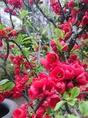 【春】散策で楽しめる春の花 一例 木瓜(ぼけ)