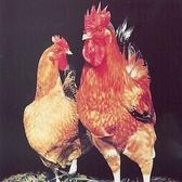 とりかくのこだわり素材『蔵王土鶏』。烏骨鶏の血を引く良質な銘柄鶏です。鶏本来の旨味、歯ごたえ、舌触り、ジューシー感・・・。いずれも秀逸な鶏肉です。