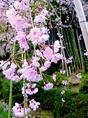 【春】散策で楽しめる春の花 一例 紅しだれ桜