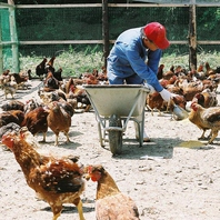限られた農家でしか生産が許されていない『幻の地鶏』