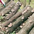 自社農園の原木椎茸