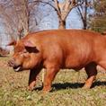 三元豚は豊かな土壌と綺麗な空気、綺麗な水の元飼育された幸せな豚です。厳選した麦を中心に飼育することで臭みがなくきめ細やかな肉質の豚に育ちます。三大豚3品種を掛け合わすことで生産される三元豚はそれぞれのいいところがぎゅっと詰まった豚になります。