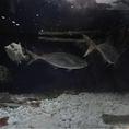 店内のいけすの魚は活け造りにできます!新鮮な状態でいち早く提供させて頂きます!泳いでいる姿も煌びやか美しく、見ていても飽きません!魚の知識も秀でている当店の職人による絶品魚介料理を心行くまでご堪能ください!