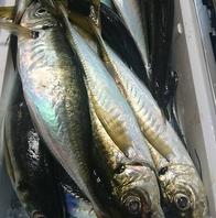 釣りたての新鮮鮮魚がうまい!!