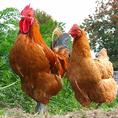 大山地鶏は大山山ろくのきれいな空気と新鮮な地下天然水で育てた健康で美味しい鶏です。生後28日以降は抗生物質の入っていない飼料を与えられ、雛を平飼いにて通常より約一週間長い58日~60日間飼育することにより、脂乗りのバランスのとれた、ジューシーで味のある肉質になります。