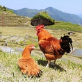 広大な運動場を有する農園でのびのびと育った丹波地鶏
