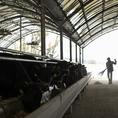 リーベの母体である牧場は仔牛が生まれ、育ち、大きくなるまでしっかりと見守り、手で確かめ、出荷まで行っております。デリケートな仔牛に対しては残留性の少ない除菌ミストを使い、徹底した衛生管理の元で育てられています