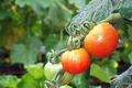 料理メニュー写真冷やしトマト 三種食べ比べ