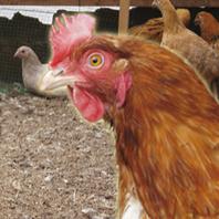 七谷地鶏・七谷鴨を最高鮮度で