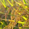 お米は北海道美唄産 おぼろずき、ふっくりんこのオリジナルブレンドです