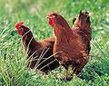 料理メニュー写真千葉県佐原産 地鶏系銘柄 【水郷赤鶏】 焼鳥各種