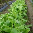 新潟市北区にある自家農園で無農薬、無化学肥料の季節に応じた旬のお野菜を栽培しています。
