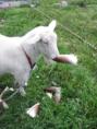 お店の看板娘・息子達を紹介します!【ヤギのメリー】『春の味たけのこ!うーん美味しいなぁ。むしゃむしゃむしゃ。』