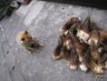 【犬のラムちゃん】一緒にタケノコ狩りしました!『いっーぱいとれたわん!ワンダフル♪』