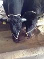 【オリーブ牛の美味しさの秘密】オレイン酸を豊富に含むことで知られているオリーブ。 その、オリーブ搾り果実を黒毛和牛に給与することにより「讃岐牛」の品質・美味しさの向上を目指しています。