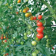 自社農園の野菜を使用しています