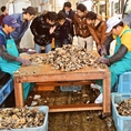 水揚げ後、浄化の作業をおこない安全&安心なものを店舗に直送!身がぎっしりつまって大ぶりな牡蠣をご堪能あれ♪