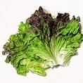 【サニーレタス】微かな苦味と柔らかな口当たりが特徴の緑黄色野菜です。ビタミンC、鉄、カリウムなどが豊富に含まれています。