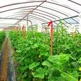 京都上賀茂にある「谷農園」さんからの直仕入れなのでいつも新鮮野菜をご提供しております。