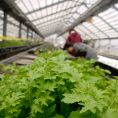 レアな香草ハーブ20種以上、水耕栽培ハウス