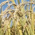 お米にもこだわり有!北海道のクリーンライス、「ふっくりんこ」名前の通り、ふっくらと炊き上がります。