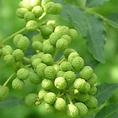 【こだわりその5】京都清水寺門前 老舗の山椒。珍しい緑色の「ぶどう山椒」も御楽しみ下さい。