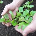 無農薬有機栽培のお野菜