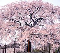 春は円山公園の桜を楽しみながら