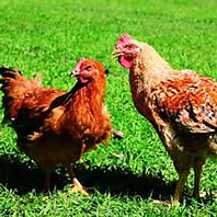 鳥取県銘柄鶏★大山鶏。