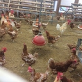 ~農業高校のご案内~『佐用高等学校』鶏・鶏卵・米、ジャガイモ、タマネギ、キャベツ、ハクサイ等を仕入れております!