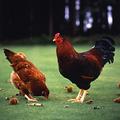 料理メニュー写真比内地鶏炙り鶏鍋