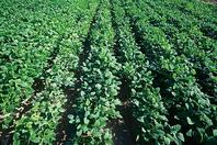 阿賀野川の肥沃な土地で枝豆を中心にした農業