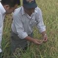 六甲山から湧き出る水をたっぷり含み、神戸牛から作られるお米