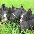 【かごしま黒豚とは…】日本を代表する六白黒豚は脂身がほんとに旨く、さっぱりとしていて焼く・煮る・蒸す、どんな料理にもマッチする鹿児島の代表選手です。食べやすくて、脂肪分が少ないということで、女性や中高年の方にも好まれている豚肉です。