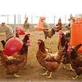 【希少な地鶏】指定を受けた35農家でしか生産が許されていない「幻のじとっこ」を使った自慢の宮崎料理!!