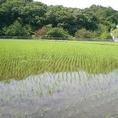 六甲山から湧き出る水をたっぷり含んだお米