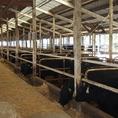 多い時で800頭もの牛を飼育しています